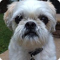 Shih Tzu Mix Dog for adoption in Foster, Rhode Island - Bandi