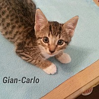 Adopt A Pet :: Gian-Carlo - Fort Pierce, FL
