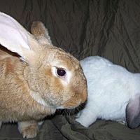 Adopt A Pet :: Bilbo and Rudy - Alexandria, VA