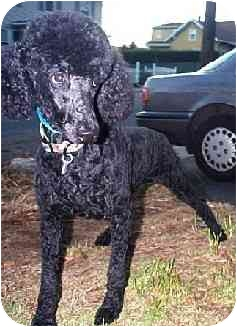Poodle (Standard) Dog for adoption in Naugatuck, Connecticut - Natalie
