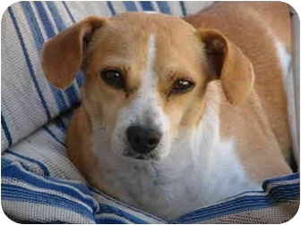 Jack Russell Terrier Mix Dog for adoption in Terra Ceia, Florida - HANNAH