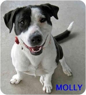 Labrador Retriever/Dalmatian Mix Dog for adoption in Ottawa, Illinois - Molly