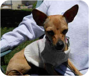 Chihuahua Mix Dog for adoption in San Clemente, California - COOKIE