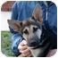 Photo 4 - German Shepherd Dog Puppy for adoption in Los Angeles, California - Noah von Christensen