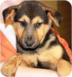 German Shepherd Dog Puppy for adoption in Oswego, Illinois - I'M ADOPTED Riley Gombash