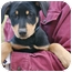 Photo 4 - Doberman Pinscher/Labrador Retriever Mix Puppy for adoption in Westport, Connecticut - *Eloise - PENDING