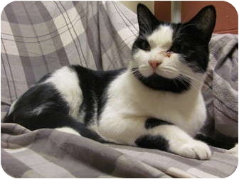 Domestic Shorthair Cat for adoption in Jackson, Michigan - Britches