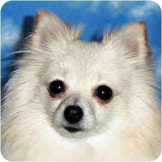 Pomeranian Dog for adoption in Kokomo, Indiana - Snoball