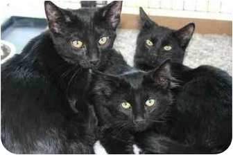 Domestic Shorthair Cat for adoption in Sheboygan, Wisconsin - Sid and Ty