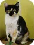 Domestic Shorthair Cat for adoption in West Des Moines, Iowa - Morticia