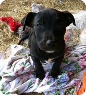 American Pit Bull Terrier/Labrador Retriever Mix Puppy for adoption in Edisto Island, South Carolina - Raven