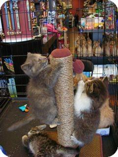 Domestic Shorthair Kitten for adoption in Pittstown, New Jersey - Minerva