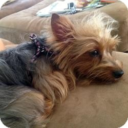 Yorkie, Yorkshire Terrier Puppy for adoption in Beechgrove, Tennessee - Lola Twilight