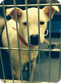 Boxer/Labrador Retriever Mix Puppy for adoption in MILWAUKEE, Wisconsin - JANIE
