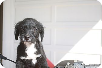 Terrier (Unknown Type, Medium) Mix Puppy for adoption in Studio City, California - Shorty