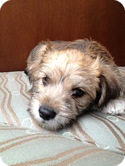 Terrier (Unknown Type, Small) Mix Puppy for adoption in Fountain Valley, California - Walter