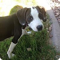 Adopt A Pet :: Dallas James - Phoenix, AZ