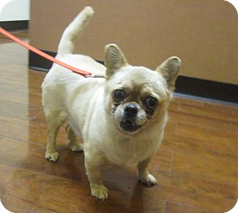 Chihuahua/French Bulldog Mix Dog for adoption in Oak Ridge, New Jersey - Chuckles