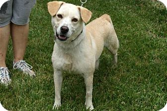 Labrador Retriever Mix Dog for adoption in Parkville, Missouri - Josie
