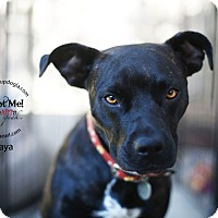 Adopt A Pet :: Maya - Los Angeles, CA