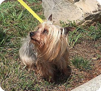 Yorkie, Yorkshire Terrier Dog for adoption in Foster, Rhode Island - Gandolf (POM-CD)