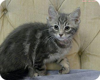Domestic Shorthair Kitten for adoption in Medina, Ohio - Lavender