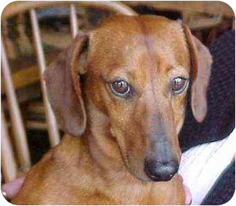 Dachshund Dog for adoption in Portland, Oregon - Otto