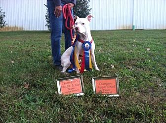 Staffordshire Bull Terrier Mix Dog for adoption in Troutville, Virginia - Jax