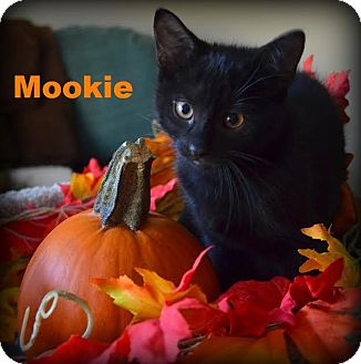 Domestic Shorthair Kitten for adoption in Huntsville, Ontario - Mookie - Adopted Oct 2015