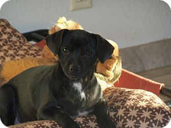Terrier (Unknown Type, Small) Mix Dog for adoption in Apache Junction, Arizona - LuLu