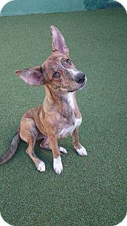 Corgi/Catahoula Leopard Dog Mix Dog for adoption in Cape Coral, Florida - Bagel