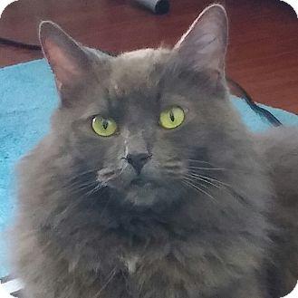 Domestic Mediumhair Cat for adoption in Toronto, Ontario - Helena