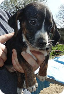 Dachshund/Chihuahua Mix Puppy for adoption in Washington court House, Ohio - Blaze