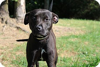 American Staffordshire Terrier Mix Dog for adoption in Conway, Arkansas - Willow