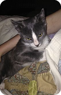 Domestic Shorthair Kitten for adoption in Tampa, Florida - Ronan