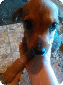 Chihuahua/Dachshund Mix Puppy for adoption in Kemp, Texas - squeak