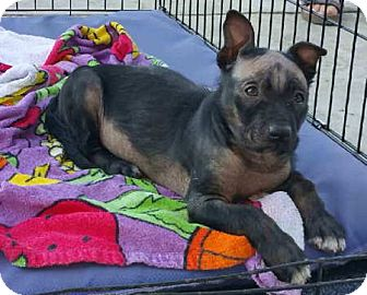 German Shepherd Dog Mix Puppy for adoption in Sacramento, California - Kaytu