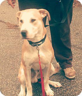 Labrador Retriever Mix Dog for adoption in Treton, Ontario - Bruno