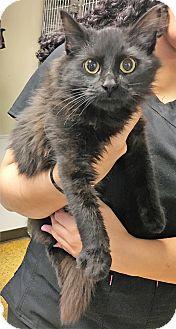 Domestic Mediumhair Kitten for adoption in Toledo, Ohio - AL