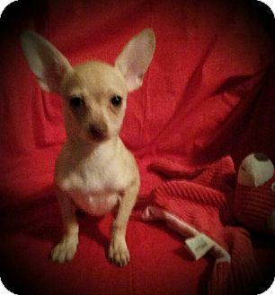 Chihuahua Mix Puppy for adoption in Allentown, Pennsylvania - Porsche