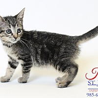 Domestic Shorthair Kitten for adoption in Laplace, Louisiana - Khat
