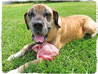 English Mastiff Dog for adoption in Conroe, Texas - Eve