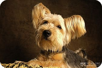 Silky Terrier/Yorkie, Yorkshire Terrier Mix Dog for adoption in Cliffside Park, New Jersey - RYAN
