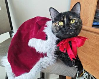 Domestic Shorthair/Domestic Shorthair Mix Cat for adoption in West Des Moines, Iowa - Iris