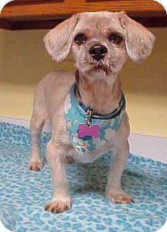 Spaniel (Unknown Type)/Shih Tzu Mix Dog for adoption in Dahlgren, Virginia - Dexter - 16 lbs