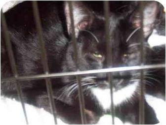 Domestic Mediumhair Kitten for adoption in San Diego/North County, California - Heyduke