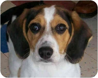 Beagle/Foxhound Mix Puppy for adoption in Indianapolis, Indiana - Little Lucy