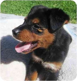Rottweiler/Border Collie Mix Puppy for adoption in West Los Angeles, California - Babka