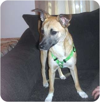 Whippet/Terrier (Unknown Type, Small) Mix Puppy for adoption in Naperville, Illinois - Madeline, 23pnds/6mo.