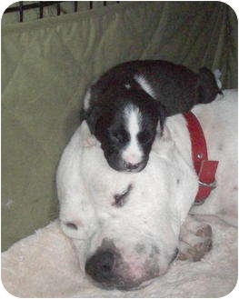 American Bulldog/Boxer Mix Dog for adoption in Copperas Cove, Texas - Angel